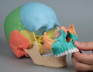 modele-anatomique