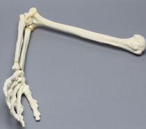 Modèle anatomique bras / d'enseignement / articulé / en mousse