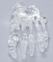 Modèle anatomique os / pied / d'enseignement / transparent