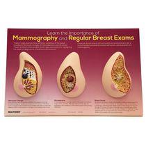 Modèle anatomique sein / d'enseignement