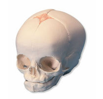 Modèle anatomique crâne / d'enseignement / de foetus / articulé