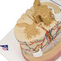 Modèle anatomique moelle épinière / d'enseignement