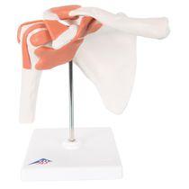 Modèle anatomique épaule / articulation / d'enseignement