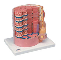 Modèle anatomique fibre musculaire / d'enseignement