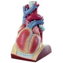 Modèle anatomique coeur / d'enseignement