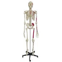 Modèle anatomique corps entier / de squelette / d'enseignement / avec marquage des muscles