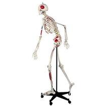 Modèle anatomique de squelette / corps entier / d'enseignement / avec colonne vertébrale flexible