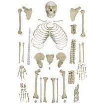 Modèle anatomique de squelette / d'enseignement / désarticulé