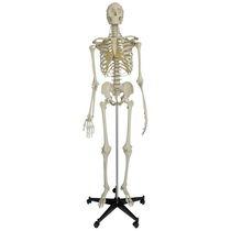Modèle anatomique corps entier / de squelette / d'enseignement / articulé