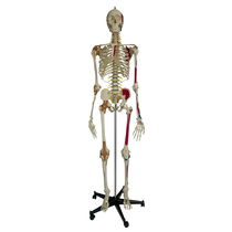 Modèle anatomique de squelette / d'enseignement / articulé / avec marquage des muscles