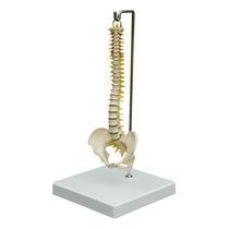 Modèle anatomique de colonne vertébrale / d'enseignement / miniature