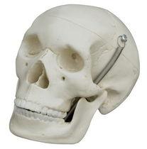 Modèle anatomique crâne / d'enseignement / miniature