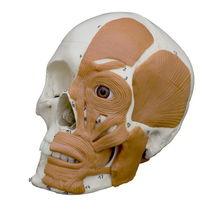 Modèle anatomique crâne / d'enseignement / articulé / avec musculature