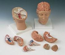 Modèle anatomique cerveau / tête / d'enseignement