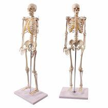 Modèle anatomique de squelette / corps entier / d'enseignement / d'adulte