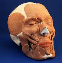 Modèle anatomique crâne / de formation / avec musculature
