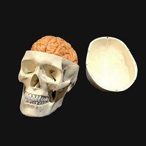 Modèle anatomique crâne / cerveau / d'enseignement / articulé