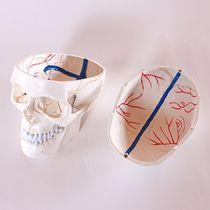 Modèle anatomique crâne / d'enseignement / avec vaisseaux sanguins