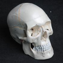 Modèle anatomique crâne / d'enseignement / de suture / articulé