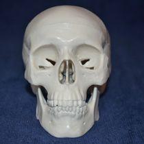 Modèle anatomique crâne / d'enseignement / d'adulte / articulé