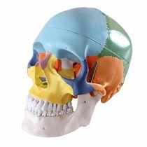 Modèle anatomique crâne / os / d'enseignement / articulé