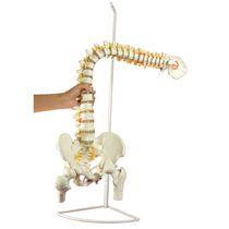 Modèle anatomique de colonne vertébrale / bassin / pathologique / flexible