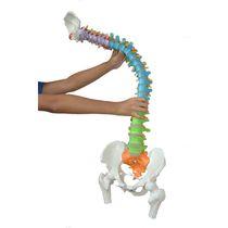 Modèle anatomique de colonne vertébrale / bassin / d'enseignement / pathologique