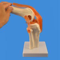Modèle anatomique articulation / genou / d'enseignement / avec musculature