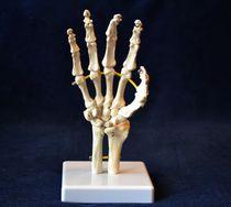 Modèle anatomique main / de squelette / d'enseignement / flexible