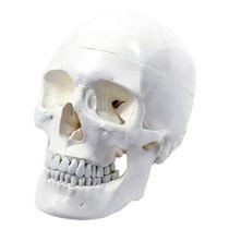 Modèle anatomique crâne / d'enseignement / articulé