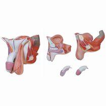 Modèle anatomique organe génital masculin / d'enseignement