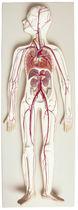 Modèle anatomique système circulatoire / d'enseignement