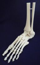 Modèle anatomique de squelette / articulation / cheville / d'enseignement