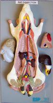 Modèle anatomique corps entier / de dissection / de rongeur
