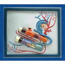 Modèle anatomique veine / système circulatoire / artère / d'enseignement