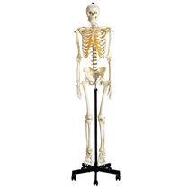 Modèle anatomique de squelette / d'enseignement