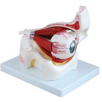 Modèle anatomique muscle / d'œil / d'enseignement / avec orbite