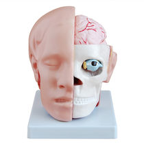 Modèle anatomique crâne / cerveau / tête / d'enseignement