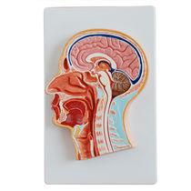 Modèle anatomique tête / d'enseignement
