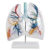 Modèle anatomique poumon / d'enseignement / transparent