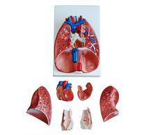 Modèle anatomique coeur / poumon / larynx / d'enseignement