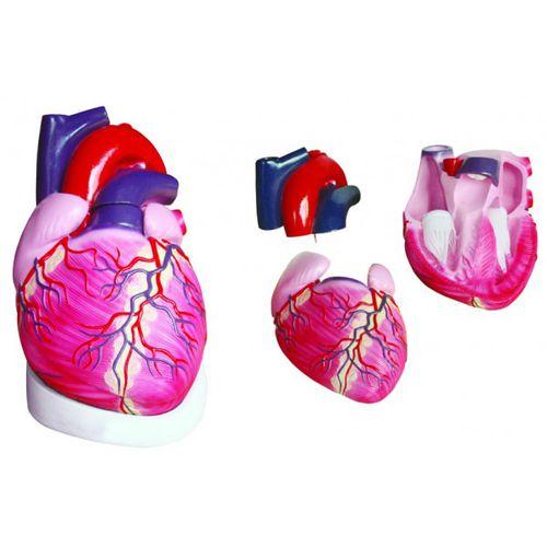 Modèle anatomique coeur / d'enseignement YA/C021 YUAN TECHNOLOGY LIMITED