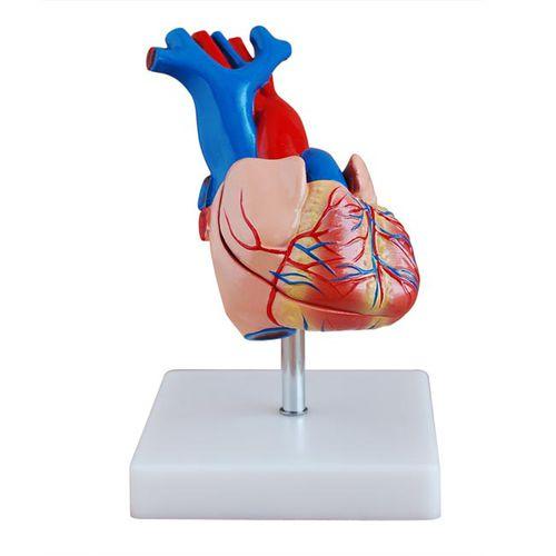 Modèle anatomique coeur / d'enseignement XC-307A Xincheng Scientific Industries Co., Ltd.