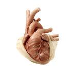 modèle anatomique coeur / pour chirurgie cardiaque / pour chirurgie thoracique / d'enfant