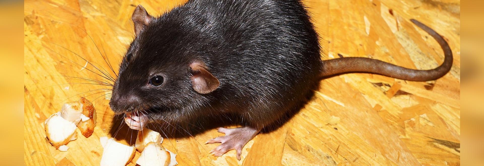 Les rats paraplégiques marchent et regagnent le sentiment après traitement de cellule souche
