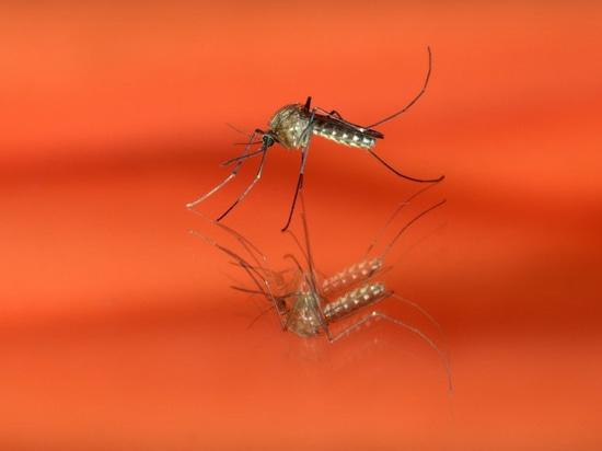 Quand la dengue tournera-t-elle potentiellement mortel ? Les chercheurs identifient les gènes qui fournissent a le disent