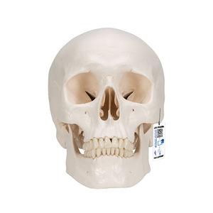 modèle anatomique crâne