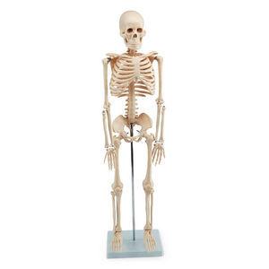 modèle anatomique de squelette
