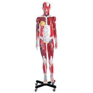 modèle anatomique musculaire