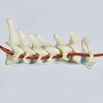 modèle anatomique artère / de colonne vertébrale cervicale / d'enseignement / flexible